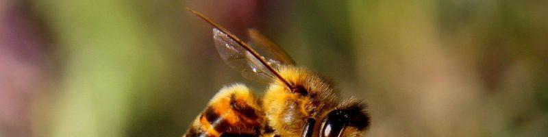 Weisel/Bienenkönniginnen